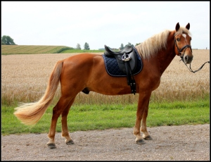 A very typey Finnhorse gelding