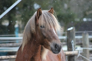 A young Finnhorse stallion